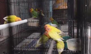 Makanan Anakan Lovebird Umur 2 Bulan