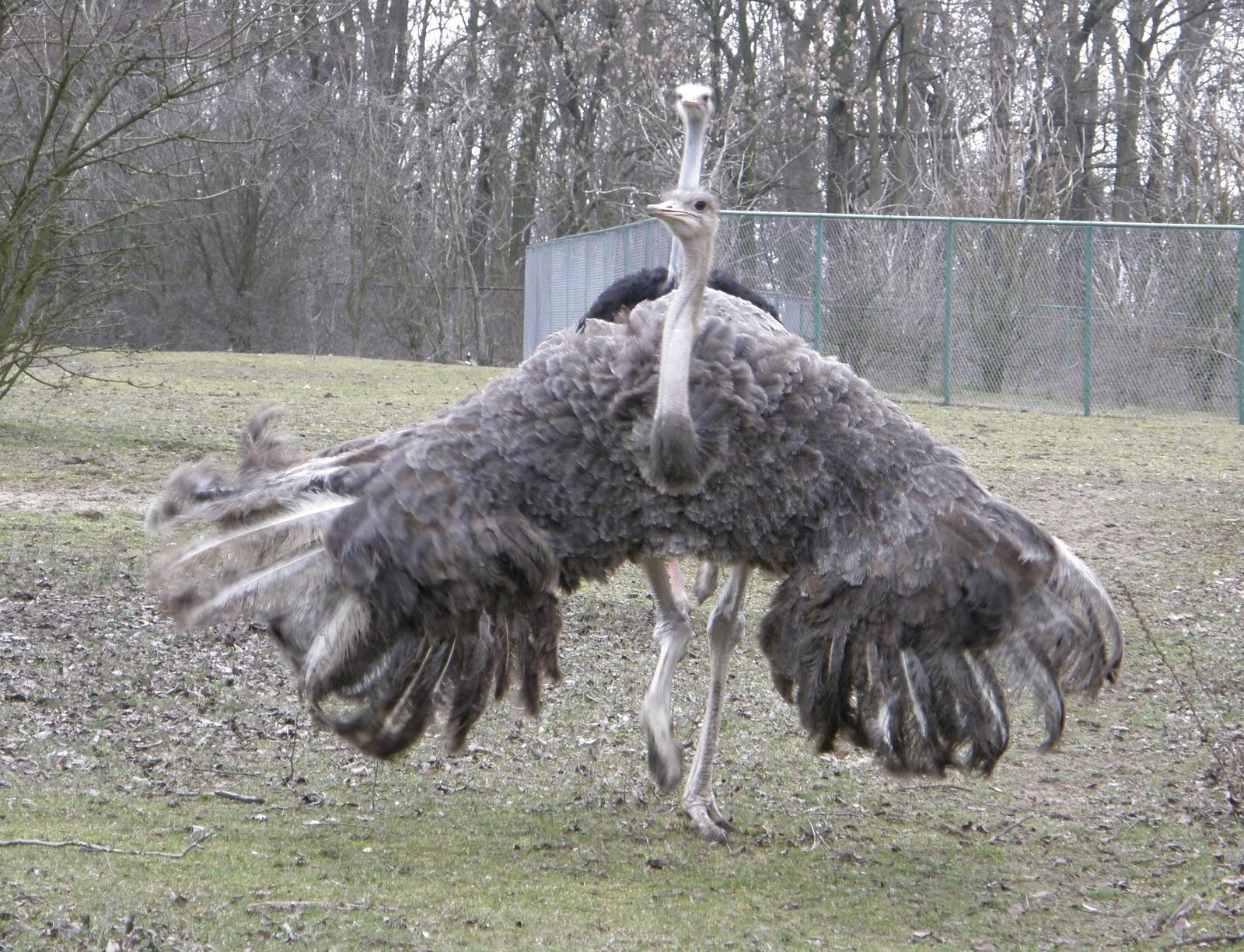 9 Km To Miles >> Wildlife of the World: Ostriches Bird Photos 2012