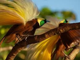 Keindahan Burung Cenderawasih