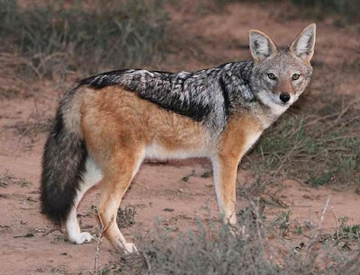 Animals That Start With J - Jackal