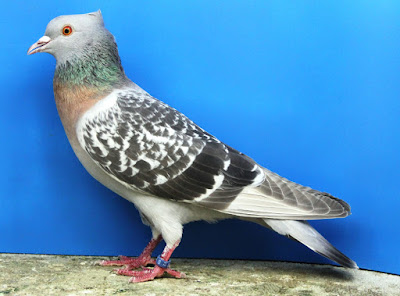 colour pigeons - fancy pigeons