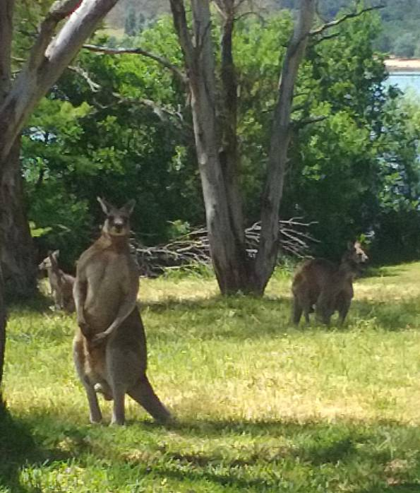 kangaroos at Weston Park