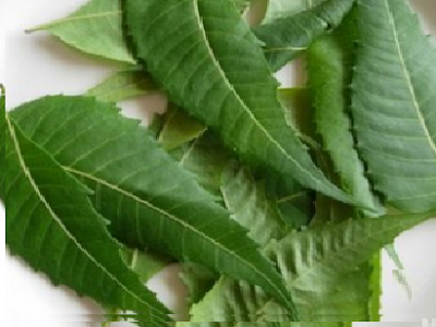 Benefits of Neem for hair, skin and health How to use neem to purify the blood