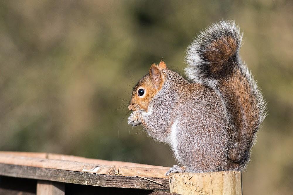 Grey Squirrel - Cosgrove
