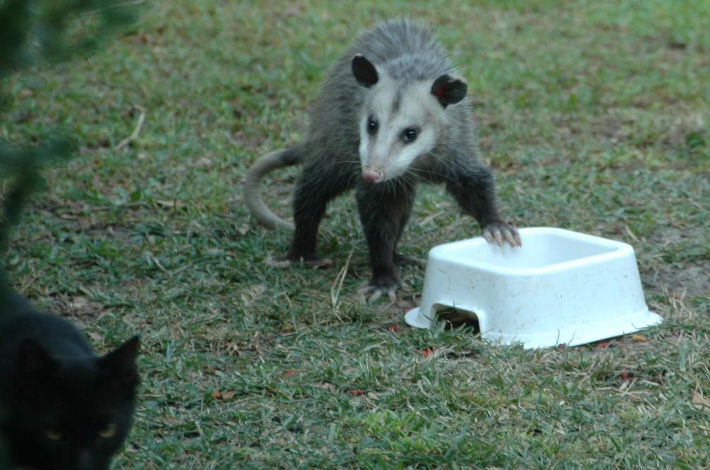 The Possum And Kitten