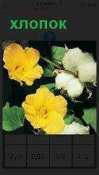 несколько цветов растущего хлопка
