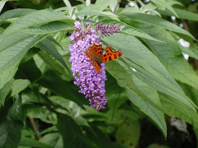 Lovely butterfly on Buddlea