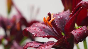 Wallpaper: Burgundy Flowers and Rain Drops