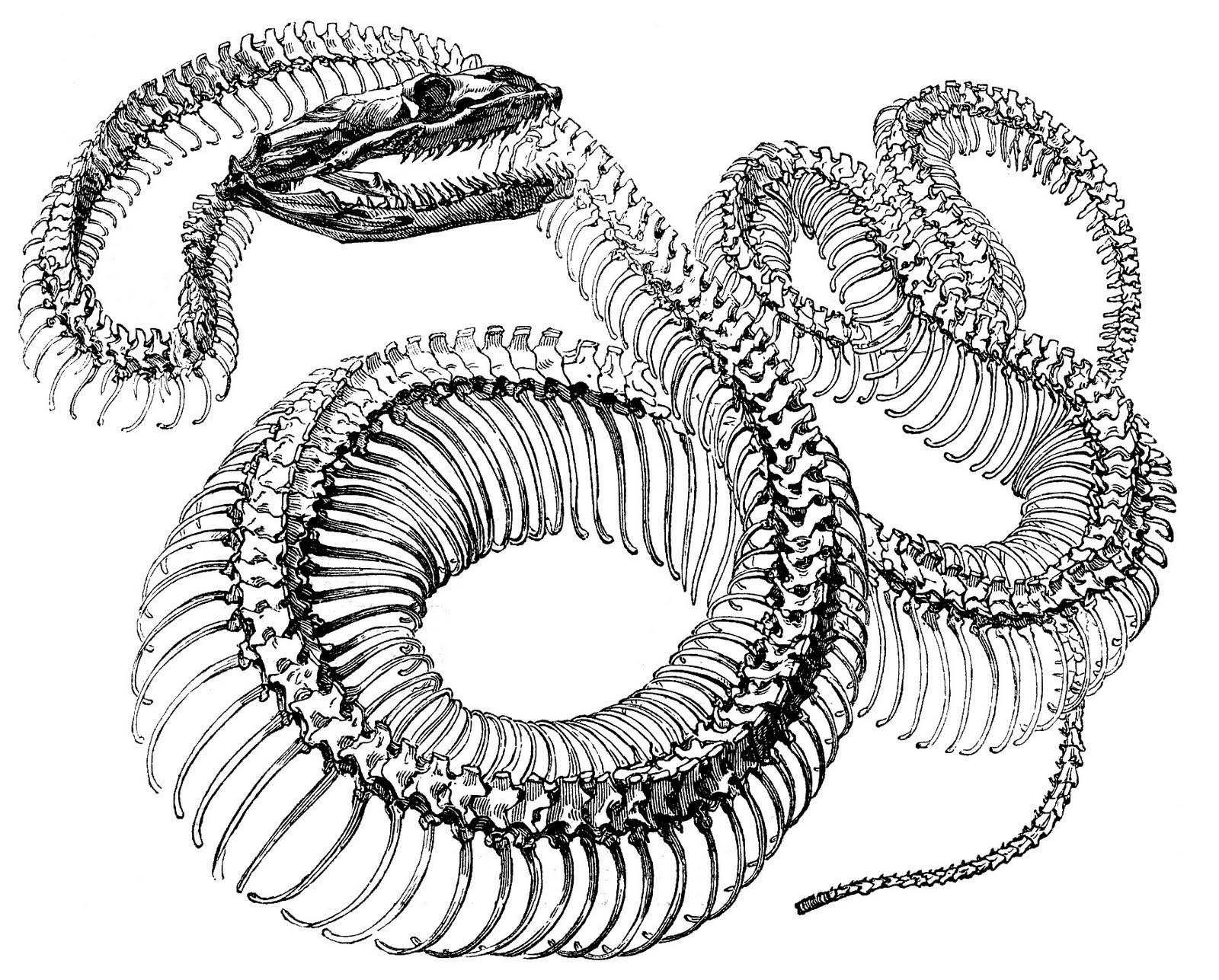 Antique Engraving Snake Skeleton