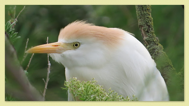 Cattle Egret in breeding plumage in the Camargue, France