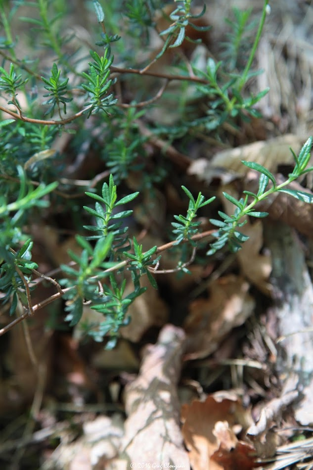 Cistus umbellatus Hélianthème en ombelle, Cuvier, Fontainebleau (C) Greg Clouzeau