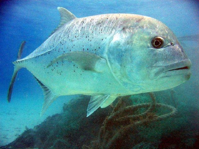 Jenis Ikan Kuwe Dan Gambarnya Beserta Klasifikasinya