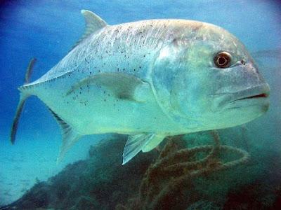 Jenis Ikan Kuwe Biru
