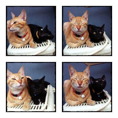 Cerita Cha Mengenal Feline Urologic Syndrome Fus