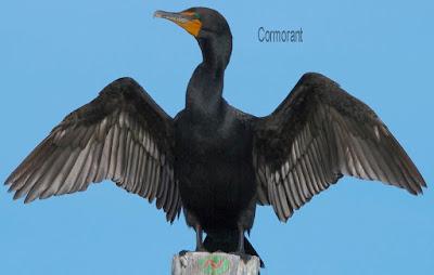 cormorant bird, পানকৌড়ি