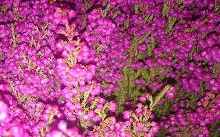 Høstlyng, Erica gracilis