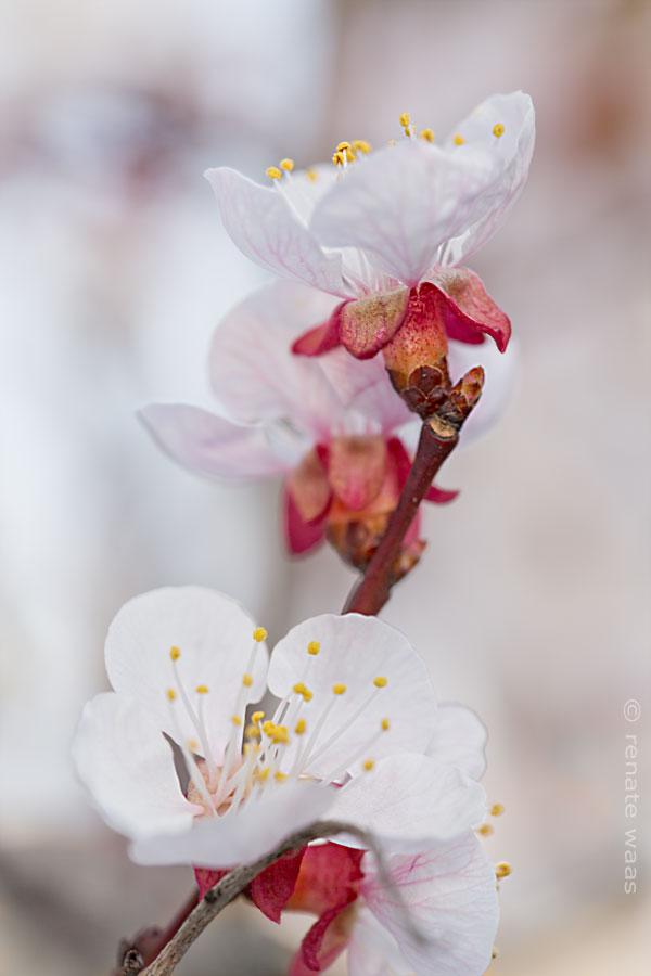 Obstgarten Renate Waas - Aprikose Hargrand - Blüte im März