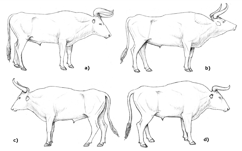 The Breeding-back Blog: New anatomical sketches of aurochs bulls