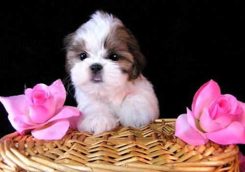 shih tzu pictures cute puppies | high Resolution dog ...
