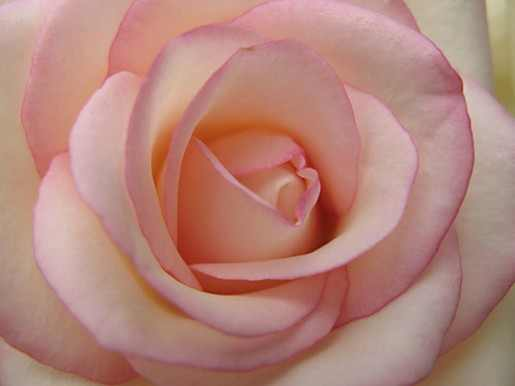 Kitchen Chaos: Roses: What Is The Meaning Behind The Color?