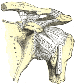 Coracoclavicular ligament Wikipedia - coracoclavicular ligament