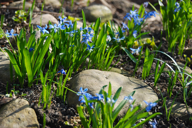 Scilla siberica 'Spring Beauty', also known as Siberian or wood squill, blooming in our little rock garden.