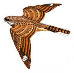 the world of nightjar