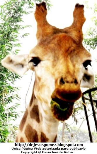 Foto al rostro de la jiraba en pleno almuerzo. Foto de jirafa de Jesus Gómez