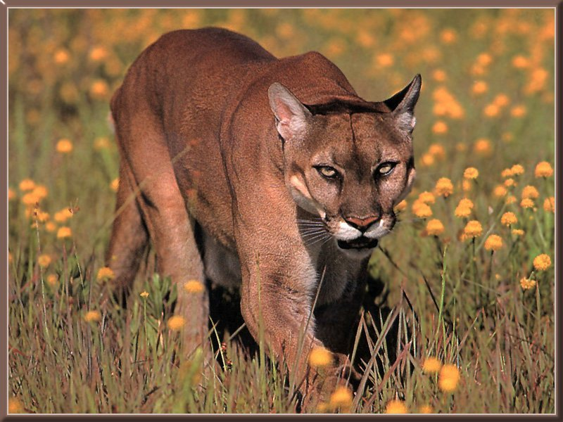 cougar wildlife info and photos the wildlife. Black Bedroom Furniture Sets. Home Design Ideas