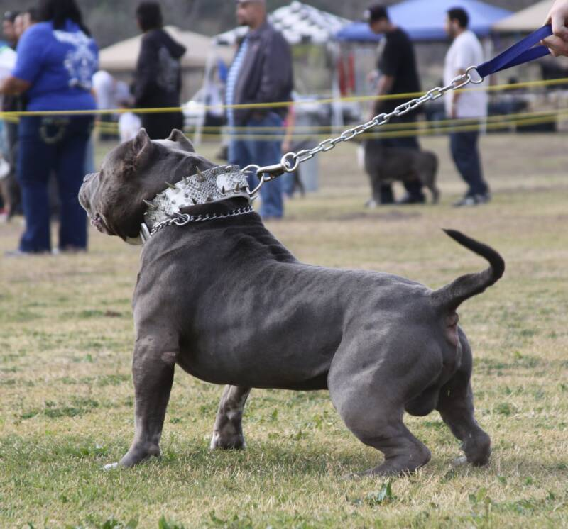 World's Biggest Pitbull