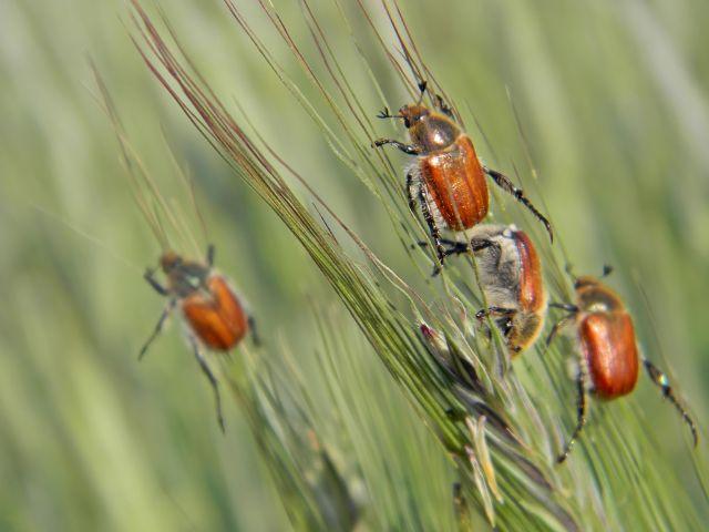 chrząszcze, owady, kłosy, zboże