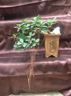 cascading ficus bonsai plant