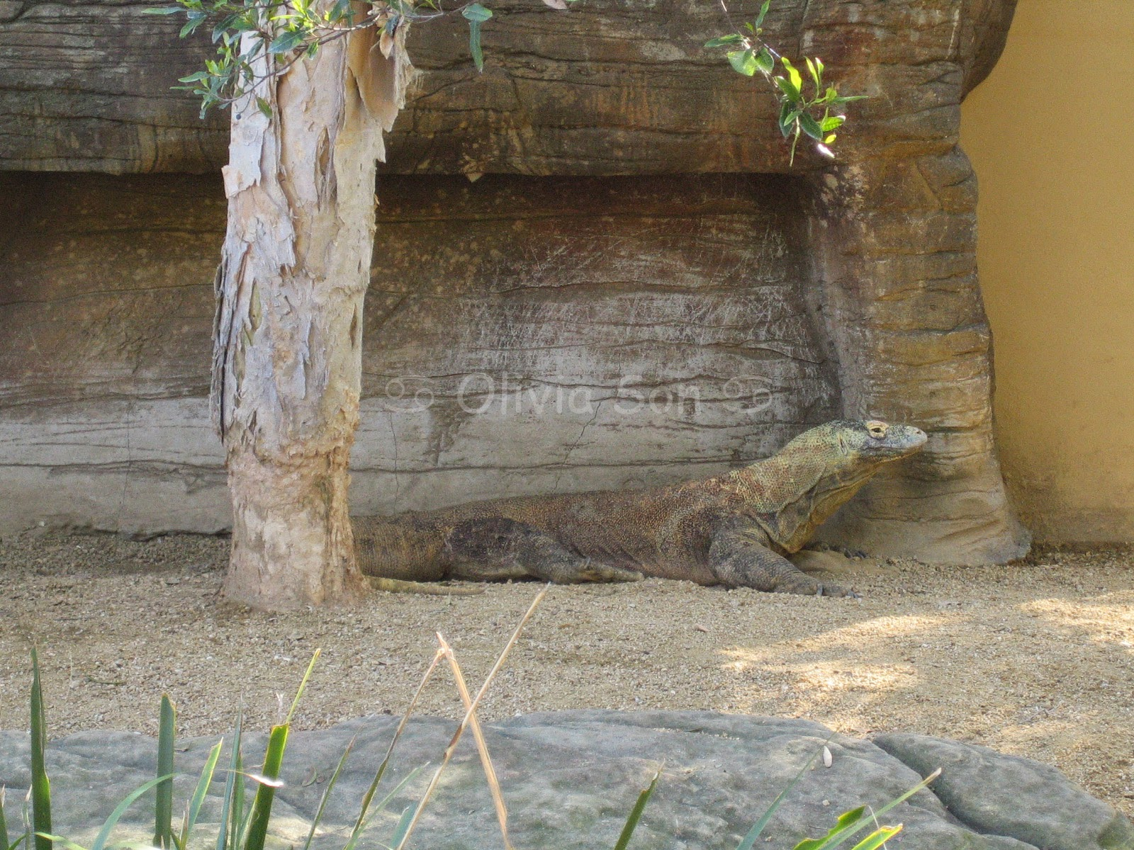 Dragon Komodo Taronga Zoo, Sydney, Australie