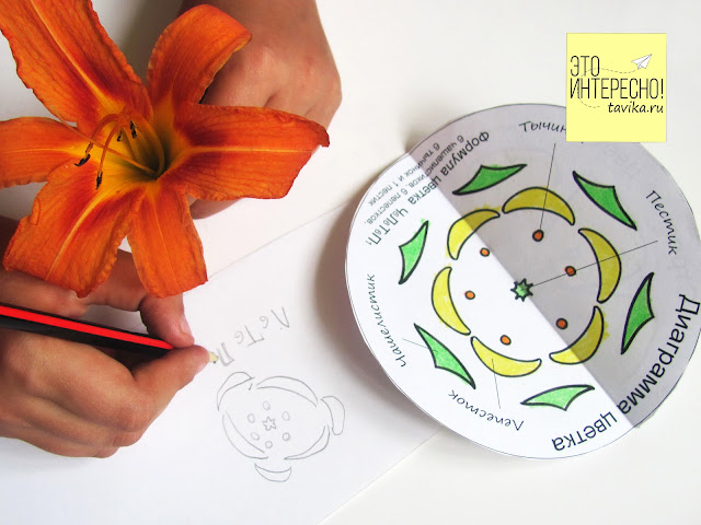 Строение цветка - пособие для распечатки