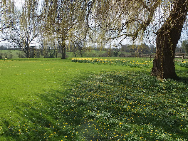 Daffodils and lesser celandine at Allington near Chippenham