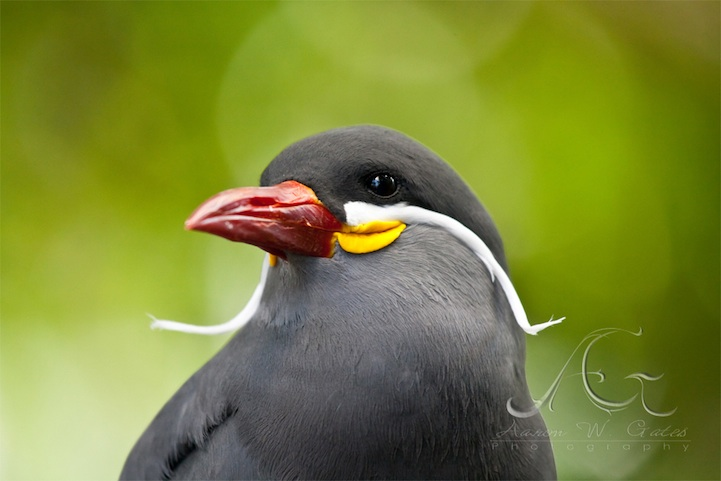 The Mustached Bird  Inca Tern   Round the Web Info  Photography  and     The Mustached Bird  Inca Tern Jose Paul Sharvin
