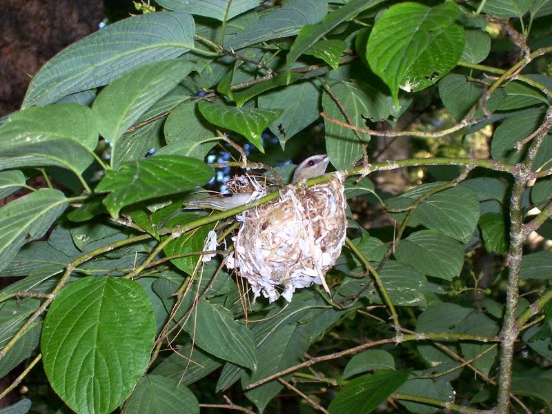 Red eyed vireo nest - photo#40
