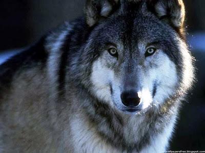 Resultado de imagem para fotos silencio de lobos