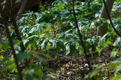 Mayapple (Podophyllum peltatum)
