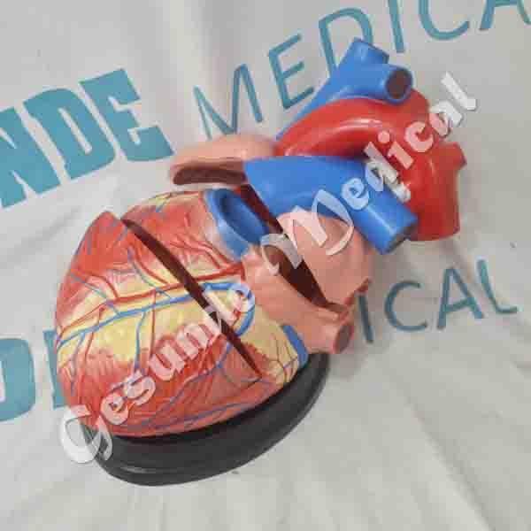 agen manekin organ jantung