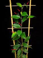 fikus liście