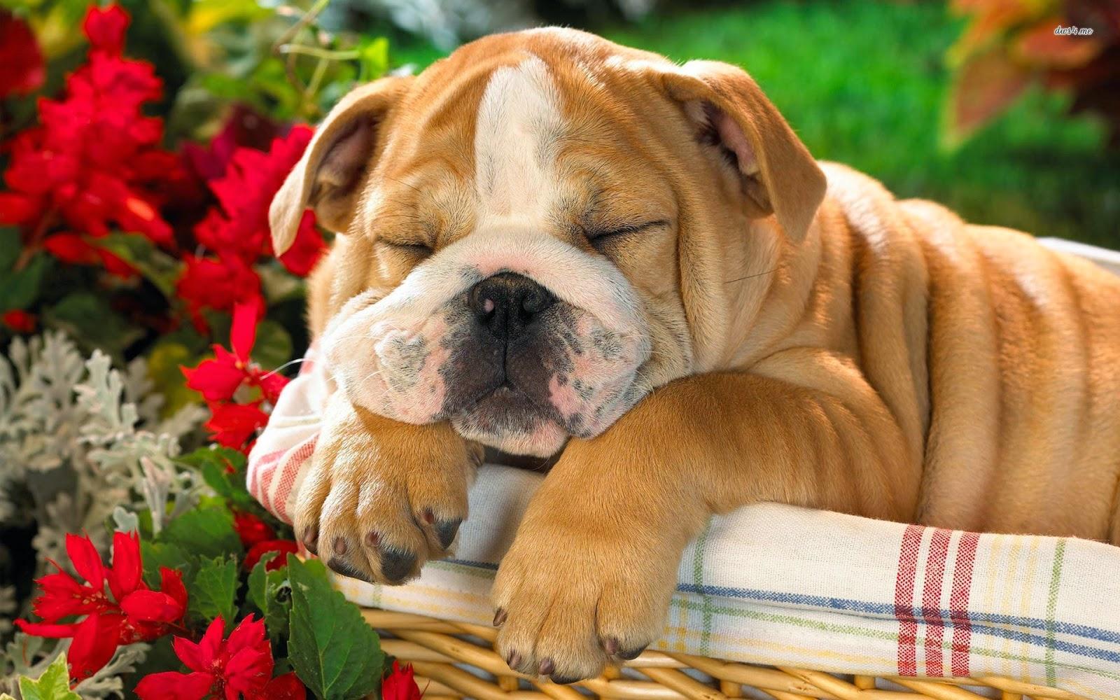 Rules of the Jungle: British Bulldog Puppies