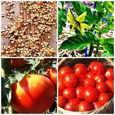 fructe, seminte si flori de tomate