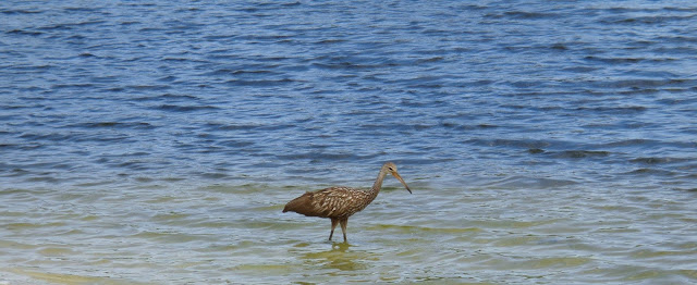Limpkin in a South Florida lake