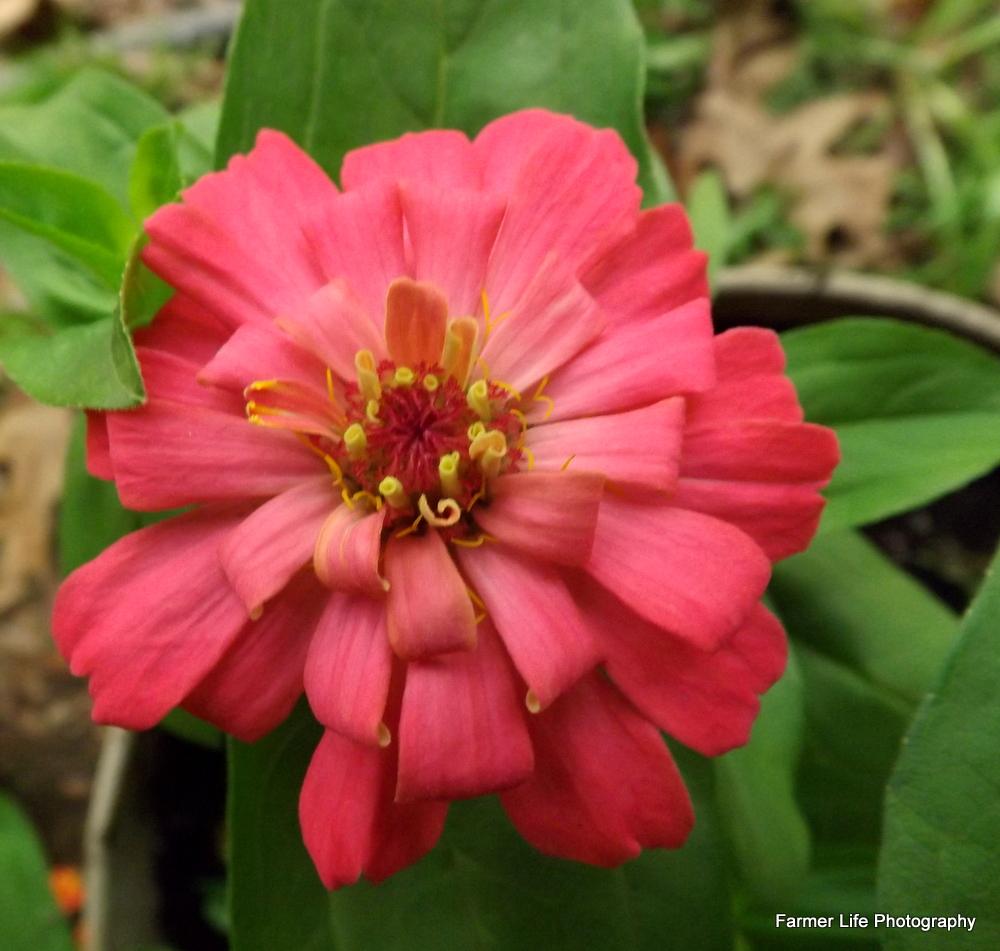 Wedding Anniversary Flower: Living A Farmer's Life: Fourth Wedding Anniversary Flowers