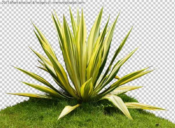 PNG furcaria plant Texture 00001