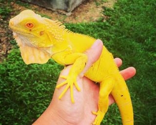cara ternak iguana