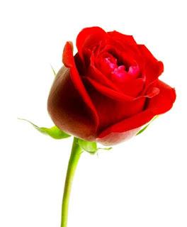 Gambar Bunga Mawar Merah Yang Cantik_Red Roses Flower 2003