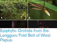 https://sciencythoughts.blogspot.com/2016/04/epiphytic-orchids-from-lengguru-fold.html
