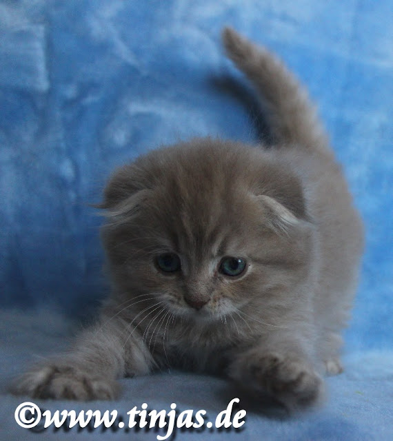 spielendes Highland Fold Kitten in lilac golden tabby 2017 05 20 126